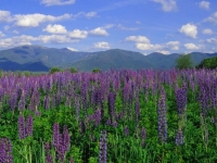 Lupine Of Sugar Hill