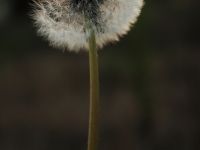 A Dandelion At Sunset