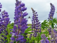 Lighthouse Through The Blooms