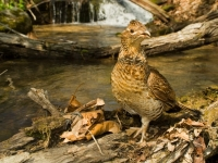 Ruffed Grouse Along Mountain Stream