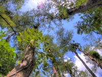 Looking Up At Big Cypress