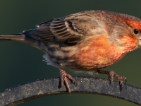 A Male House Finch