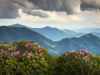 Spring Blooms On Appalachian Trail - Roan Mountain Highlands