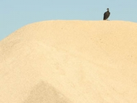 Black Vulture On Sand Dune