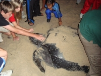 Leatherback Sea Turtle