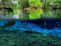 Ginnie Springs Green Tree