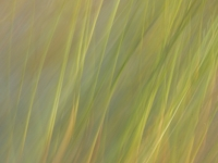 Swaying Grasses