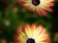 Morning Copper Gerbera Daisies