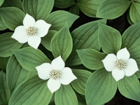 Dogwood/bunchberry