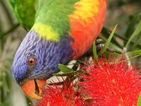 Rainbow Lorikeet & Bottle Brush