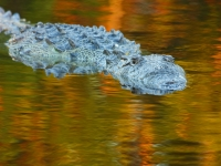American Crocodile In The Golden Water Of The Everglades