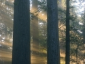 Dawn Streaming Through Redwoods