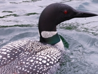 Loon On My Bow