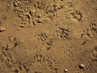 Raccoon Tracks And Numerous Other Tracks In River Bed