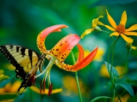 Butterfly And Lily
