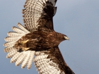 Juvenile Harlan's Dark Morph Red-tailed Hawk