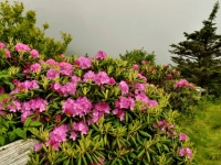 Rhododendrum, Fence, And Fog