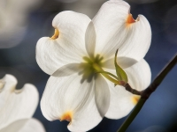 Dogwood In The Light