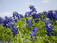 Blooming Bluebonnets