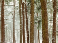 Snowstorm In A Hemlock Forest