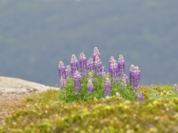 Lupines In The Tundra