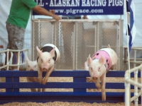 Pig Racing At The Orange County Fair