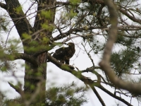 Eagle Eating Breakfast In South Georgia