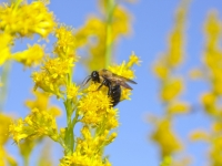 American Bumblebee On Goldenrod