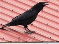 American Crow Crying Out To The Family.