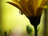 African Daisy In The Shadows