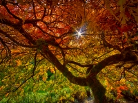 Maple Tree Sunrise