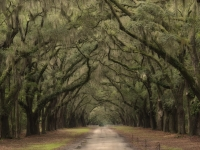 Wormsloe Oaks