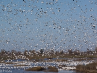 Snow Geese At Gray Lodge Wildlife Area