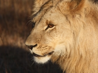 African Lion Male 2