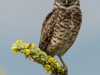 Burrowing Owl On Mullein Plant