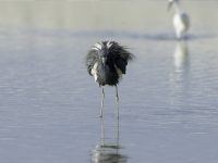 Fluffed Up Tricolor Heron