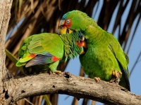 White-fronted Parrot Preening Pair