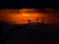 Sunset Ducks Lm