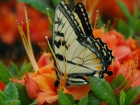 Tiger Swallowtail And Flame Azalea