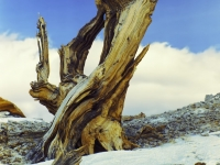 Winter Amid The Ancient Bristlecone Pines