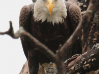 Stare Down With Bald Eagle