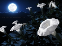 Moonflowers Lit By A Full Moon