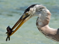Great Blue Heron Dining