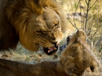 Lion Mating Ritual