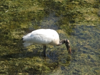 A Wood Stork Feeding In A