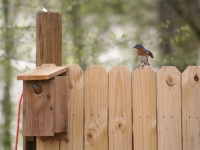 Bluebirds Preparing For Little Ones