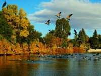 Geese In The Lagoon