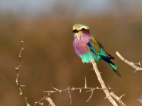 Violet Breasted Roller - Acacia