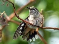 Juvenile Broad-tailed Hummingbird Drying Feathers