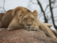 African Lioness Sleeping On Rock